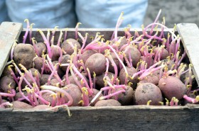 Chitted Potatoes Growing In A Wooden Rustic Crate